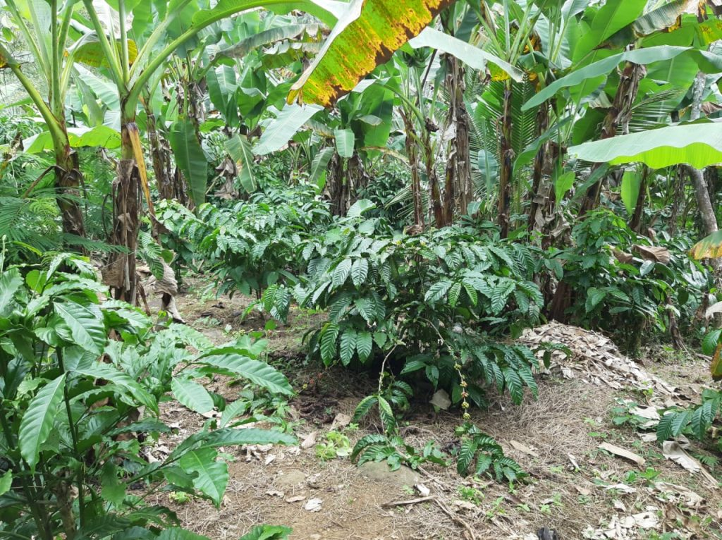 Jual Tanah Perkebunan Kopi 2 Hektare